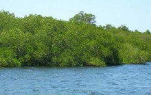 Hutan Mangrove di Gili Sulat Lombok